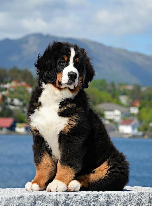 Bernese Mountain Dog